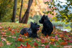 Cairn Terriers Couple sitting on the grass.  Royalty Free Stock Photography
