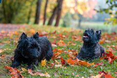 Cairn Terriers Couple sitting on the grass.  Stock Images