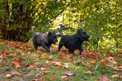 Cairn Terriers Dog Couple on the grass.  Royalty Free Stock Photo