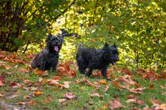 Cairn Terriers Dog Couple on the grass.  Stock Images