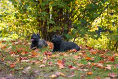 Cairn Terriers Dog Couple on the grass.  Stock Photos