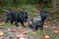 Cairn Terriers Dogs Couple on the grass. Autumn Leaves in Background. Portrait. Cairn Terriers Dogs Couple on the grass Stock Photo
