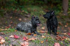 Cairn Terriers Dogs Couple on the grass. Autumn Leaves in Background. Portrait. Cairn Terriers Dogs Couple on the grass Stock Photos