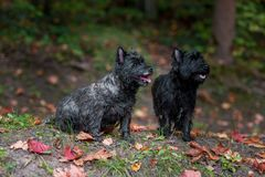 Cairn Terriers Dogs Couple on the grass. Autumn Leaves in Background. Portrait. Cairn Terriers Dogs Couple on the grass Royalty Free Stock Photo