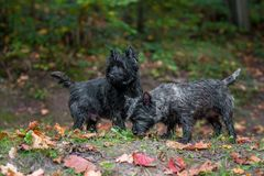 Cairn Terriers Dogs Couple on the grass. Autumn Leaves in Background. Portrait. Cairn Terriers Dogs Couple on the grass Royalty Free Stock Images