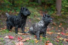 Cairn Terriers Dogs Couple on the grass. Autumn Leaves in Background. Portrait. Cairn Terriers Dogs Couple on the grass Royalty Free Stock Photography