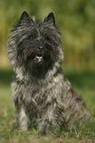 Cairne terrier stock photos