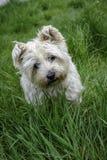 Cairne Terrier patrzeje kamerę w długiej trawie Fotografia Royalty Free