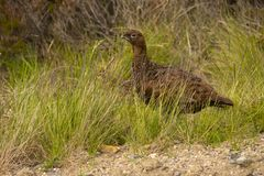Infamous grouse year due to drought and hard winter stock photography