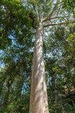 Tall tree in Kuranda Rain Forest, Cairns Australia. Cairns, Australia - February 18, 2019: Tall tree in Kuranda green Rain Forest among other trees. Blue sky stock photos
