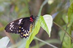 Cairns Bird wing butterfly, Cairns, Australia. Cairns Birdwing (Omithoptera euphorion) butterfly, Cairns, Australia. Mainly black butterfly with white & yellow stock images
