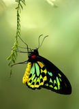 Cairns Bird-wing butterfly Royalty Free Stock Image
