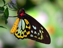 Cairns Birdwing 6 Royalty Free Stock Photo