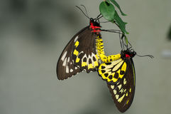Cairns Birdwing Butterflies Royalty Free Stock Images