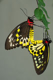 Cairns Birdwing Butterflies Stock Photo