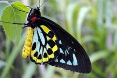 Cairns Birdwing butterflies. Cairns Birdwing Latin name Ornithoptera euphorion in a garden Stock Photos