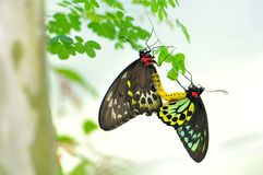 Cairns Birdwing butterflies mating Royalty Free Stock Photos