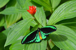 Cairns Birdwing butterfly above view Stock Photo