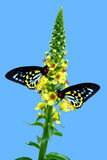 Cairns Birdwing butterfly on Agrimony flowers Stock Image
