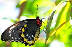 Cairns Birdwing butterfly (female) Stock Photo