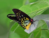 Cairns Birdwing on leaf. Stock Photography