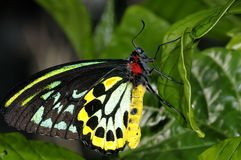 Cairns birdwing,  ornithoptera euphorion Royalty Free Stock Photography