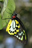 Cairns birdwing,  ornithoptera euphorion Royalty Free Stock Images