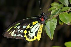 Cairns birdwing,  ornithoptera euphorion Stock Image