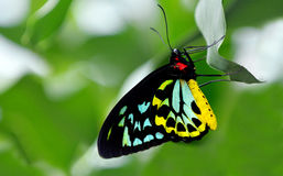 Cairns Birdwing profile side view. Cairns Birdwing (Ornithoptera euphorion) on a tree in the rainforest of Queensland, Australia is Australia's largest endemic royalty free stock photo