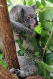 Cairns Koala Stock Image