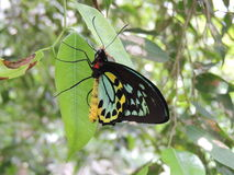 Cairns masculins birdwing l'euphorion d'Ornithoptera Photo stock