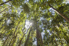 Cairns Rainforest. The local feature of Cairns rainforests stock photo
