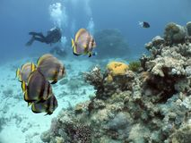 Cairnsouterreef. Short-finned Batfish (Platax novaemaculatus) school swimming over coral reef, with divers in background Stock Image