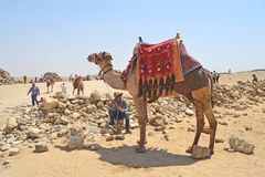 Camel driver and camel in the desert near the Egyptian pyramids. stock photo