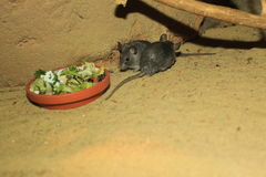 Cairo spiny mouse. The couple of Cairo spiny mouses at the bowl with food royalty free stock image