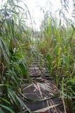 Cais de madeira esquecido entre os juncos sobre o lago Fotografia de Stock Royalty Free