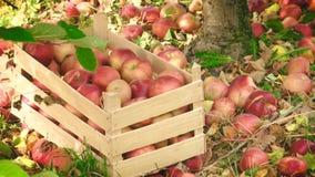 Caisse complètement de pommes et de pommes répandues autour banque de vidéos