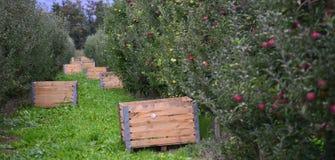 Caisses de champ de pommiers Photo libre de droits