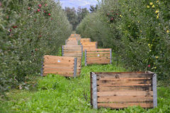 Caisses de champ de pommiers Photos libres de droits