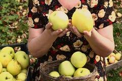 Caisses en bois avec des pommes et des mains de vert jaune Images stock
