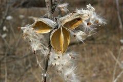 A caixa com as sementes estourou a reprodução das plantas Foto de Stock Royalty Free