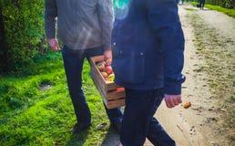 A caixa da caixa de madeira das maçãs da colheita do outono levou a mão dos povos Foto de Stock