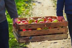 A caixa da caixa de madeira das maçãs da colheita do outono levou a mão dos povos Fotos de Stock