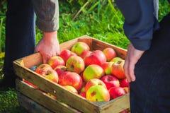 A caixa da caixa de madeira das maçãs da colheita do outono levou a mão dos povos Imagens de Stock Royalty Free