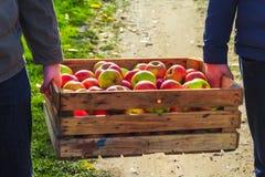 A caixa da caixa de madeira das maçãs da colheita do outono levou a mão dos povos Fotografia de Stock Royalty Free