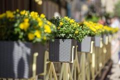 Caixa da flor do balcão com as flores amarelas na rua em Lviv, Ucrânia Fotografia de Stock