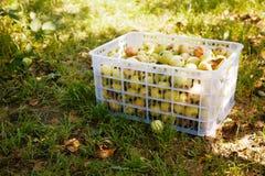 Caixa de maçãs colhidas na grama Fotografia de Stock