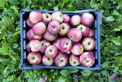 Caixa de maçãs sobre a grama fotografia de stock