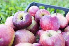 Caixa de maçãs sobre a grama imagens de stock