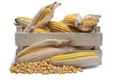 Caixa de madeira com orelhas de milho Fotografia de Stock Royalty Free